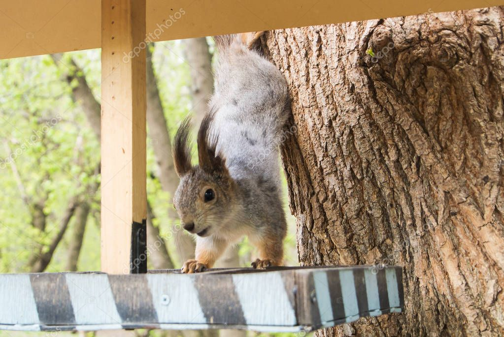 Squirrel and a feeder at the city forest park, feeding wild animals at the city of Moscow, Russia.