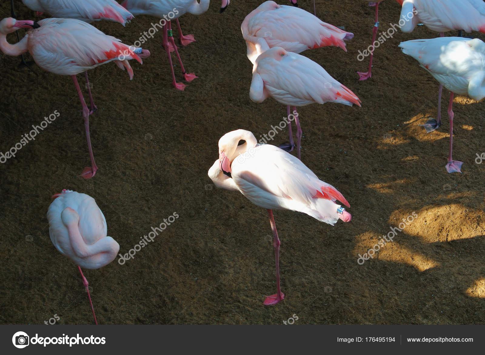 d53abd830 Flamencos, escondiendo la cabeza bajo las alas, Biopark de ...