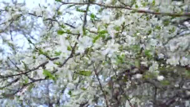 Kvetoucí třešeň na jaře na větrný den