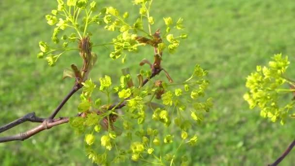 Javor květy brzy na jaře zelená poupata
