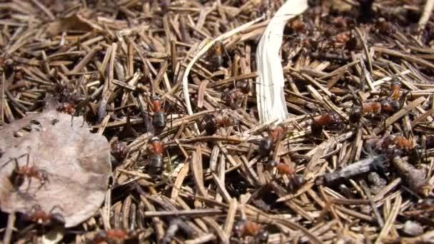 Slow motion smrkové mraveniště brzy na jaře s hnědých mravenců