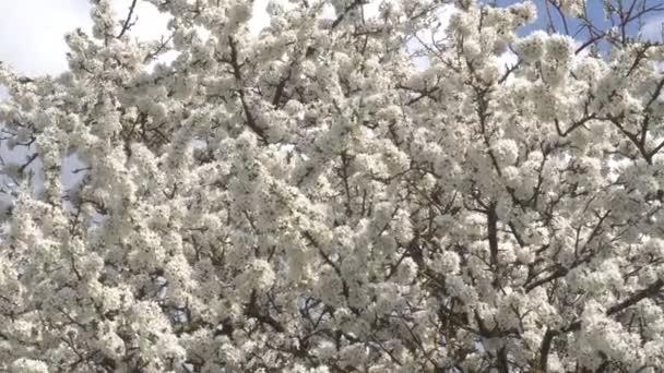 třešňový květ strom detail jasného dne dubna. 4k