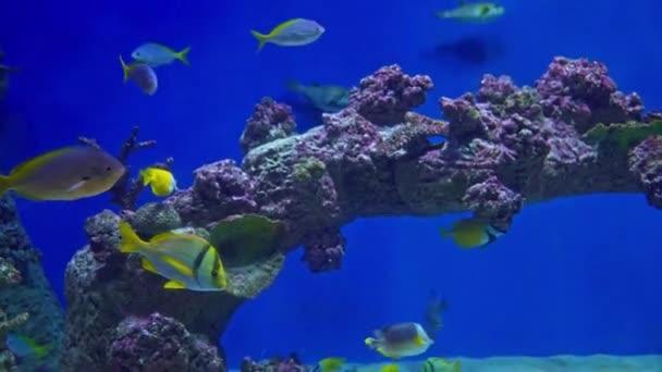 Tropical marine fish in a large aquarium