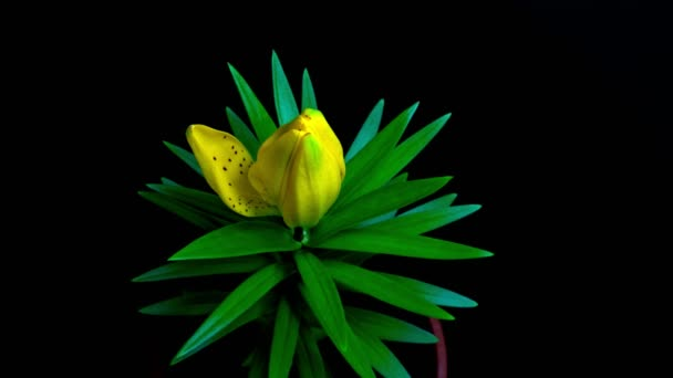 timelapse blooming of a Lily flower
