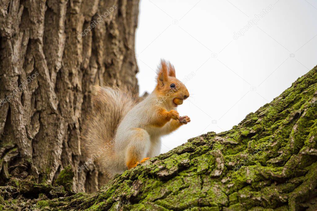 eichhörnchen mit nuss in den mund — stockfoto © lapandr