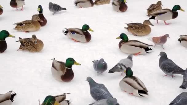 Divoké kachny a holubi v zimě na sněhu v city parku. Krmení drůbeže.