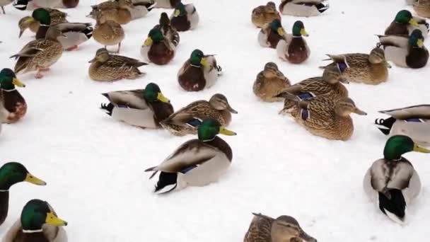 Tőkés réce-kacsa és a galambok télen a hó Park a városban. Baromfi-takarmányozási.