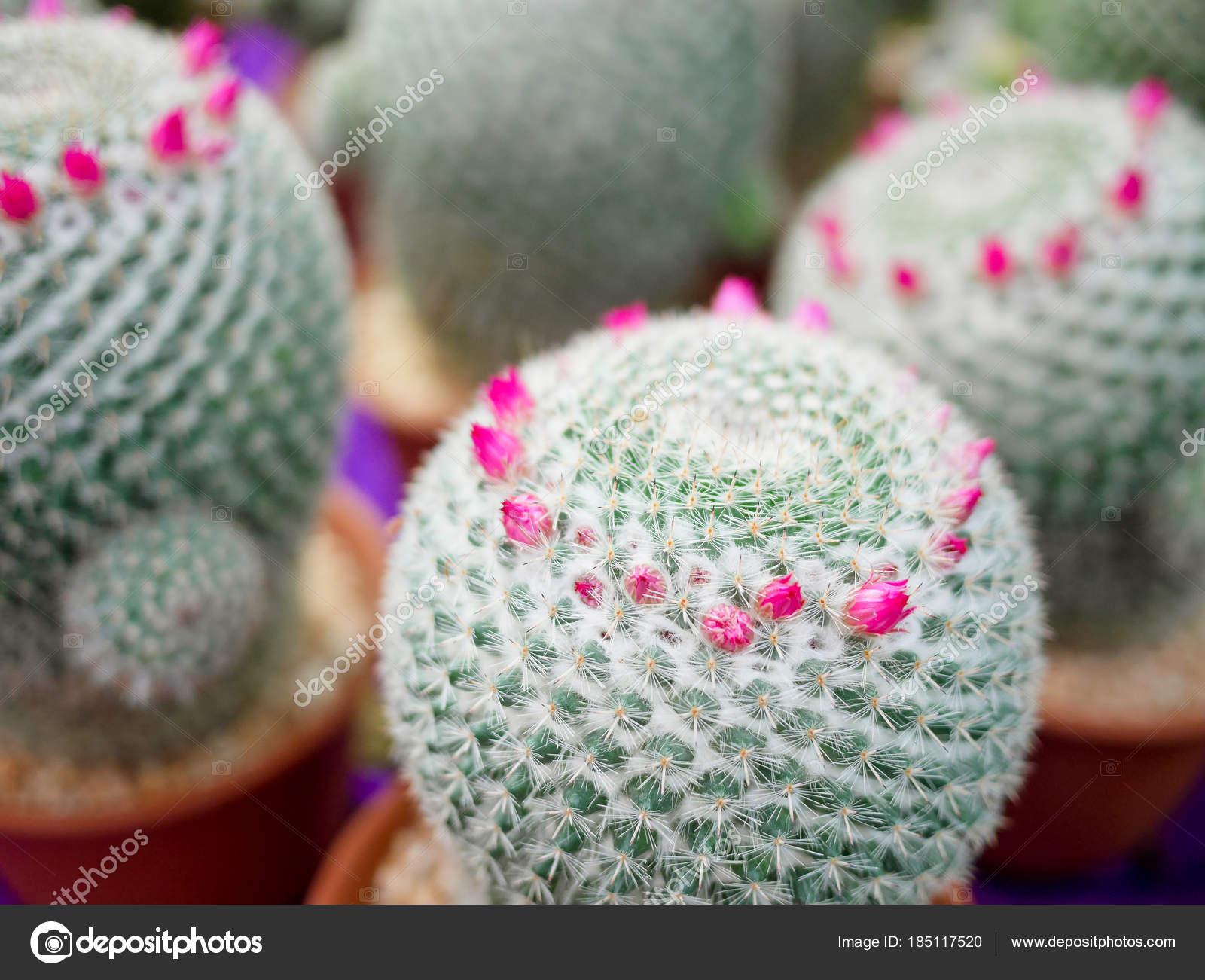 Beautiful Pink Blooming Cactus Flowers Stock Photo Psaranya