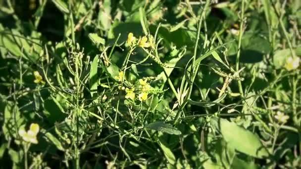 Včela na žluté květy, získávání medu