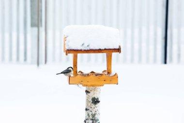 Bird feeding with Blue tits