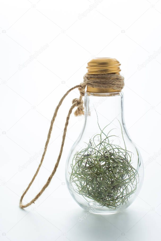 Tillansia usenoides L. in bulb