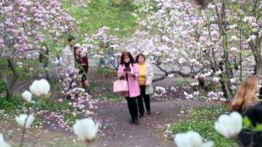 Kvetoucí magnólie v botanické zahradě