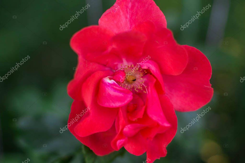 Flowering roses in the botanical garden