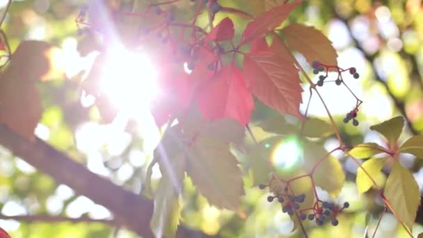 The leaves of wild grapes with small berries. Glare of the sun streaming through the leaves of trees.