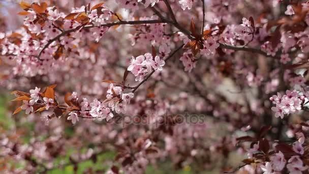 Szép virágzó Sakura és a napfény, közeli.
