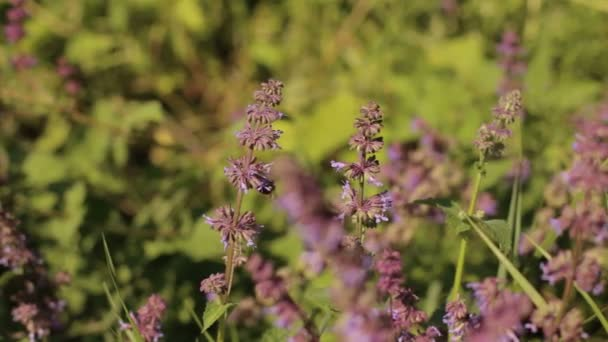 Bee collects nectar from a purple flowers in field