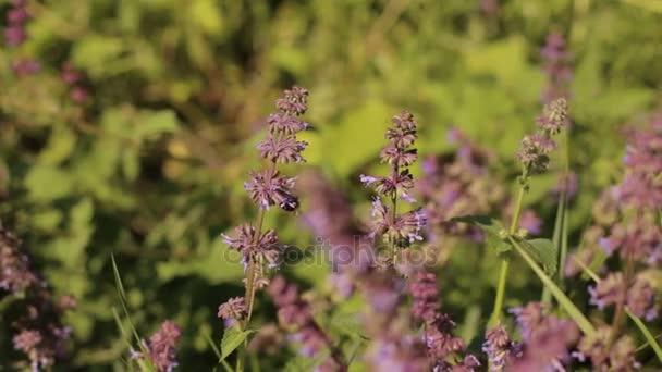 Včela sbírá nektar z fialové květy v poli