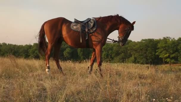 Beautiful brown horse on the field at setting sun.