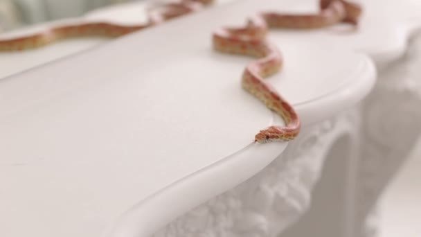 Close-up of a orange snake on a white table.