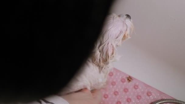Eine Nahaufnahme eines Hundepflegers badet einen Hund Bichon Bolognese im Badezimmer.