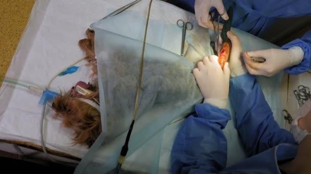 Operation an der Pfote eines Hundes in einer Tierklinik, der Arzt setzt Stiche.