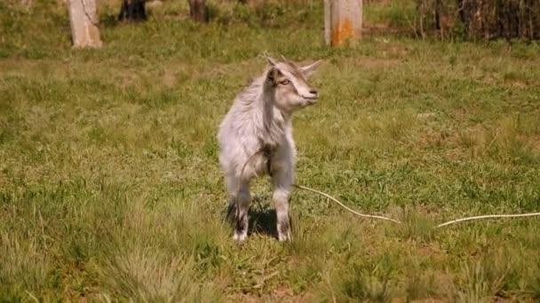 Šedá koza pasoucí se na zelené louce za slunečného dne.