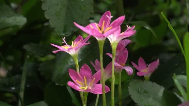 Dolly Flower, Zephyranthes