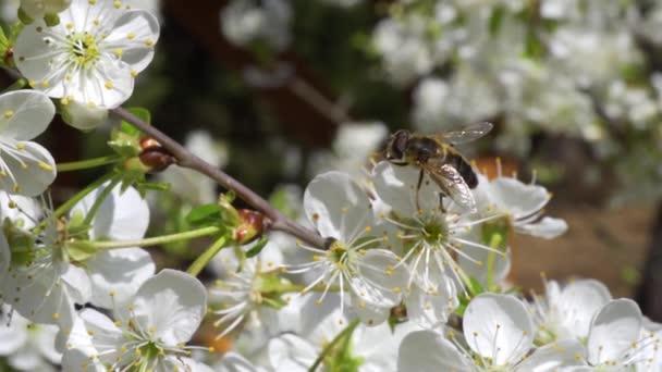 rušný hmyz sbírá nektar z krásných třešňových květů
