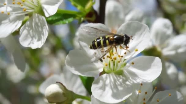 elfoglalt rovar gyűjti nektár gyönyörű cseresznyevirág