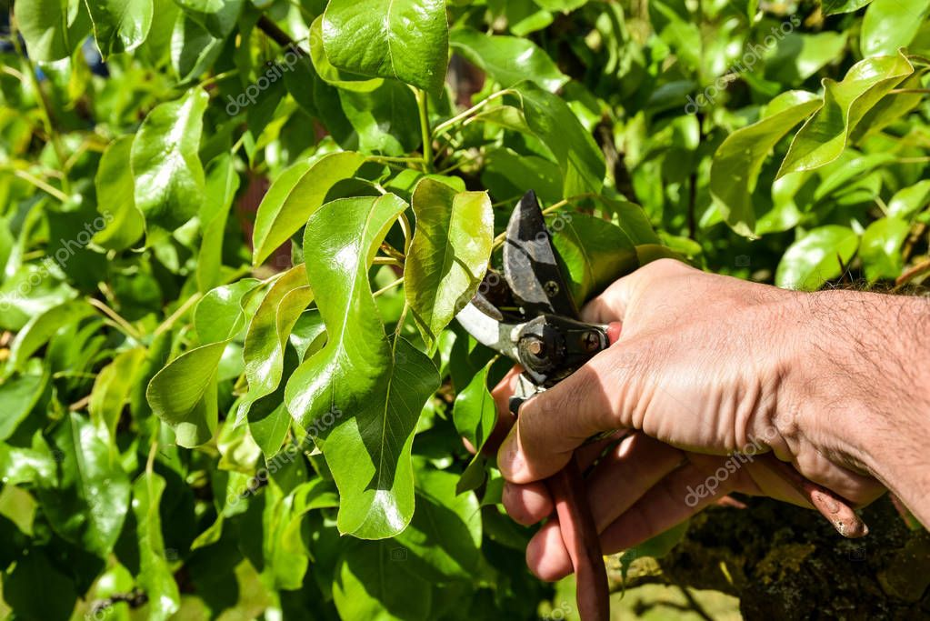 cutting branches from a fruit tree