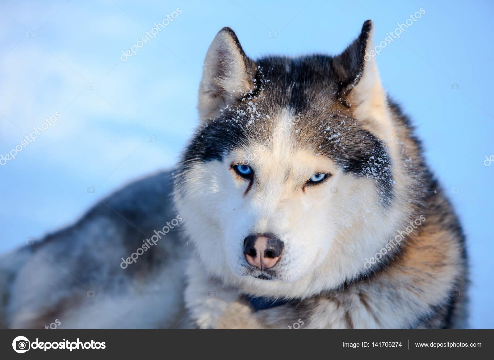 Color De Blanco Y Negro Perro Husky Siberiano Con Ojos