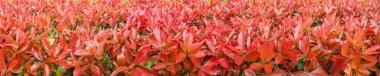 Red photinia fraseri bush hedge