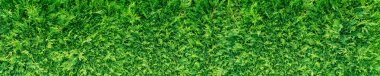 Green thuja hedge