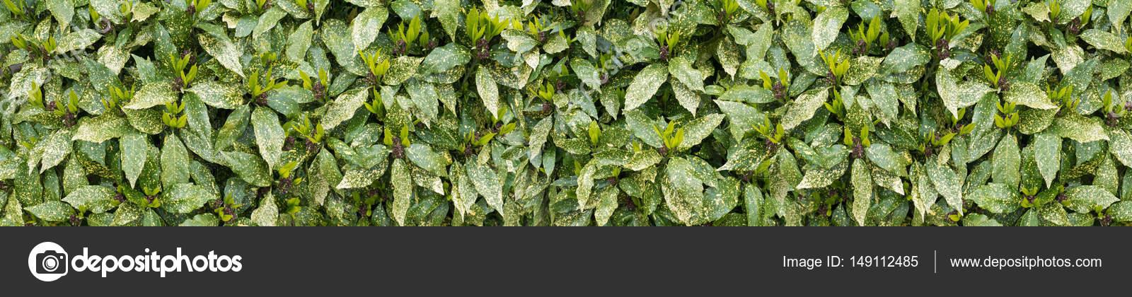 Ha Notato La Siepe Di Alloro Arbusto Con Nuovo Fondo Lungo Orizzontale Di  Crescita U2014 Foto Di Photohampster