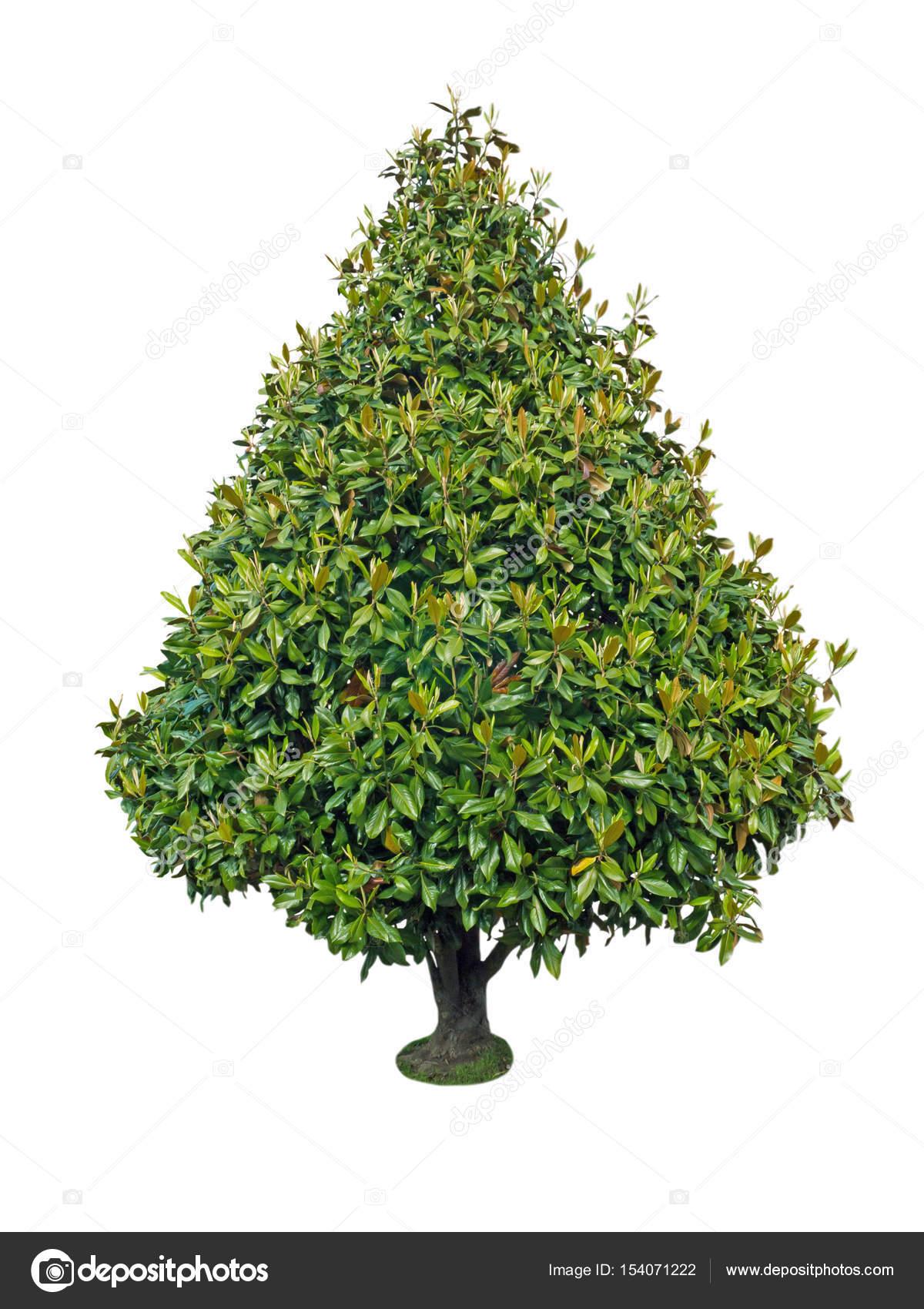 arbre décoratif de magnolia — photographie photohampster © #154071222