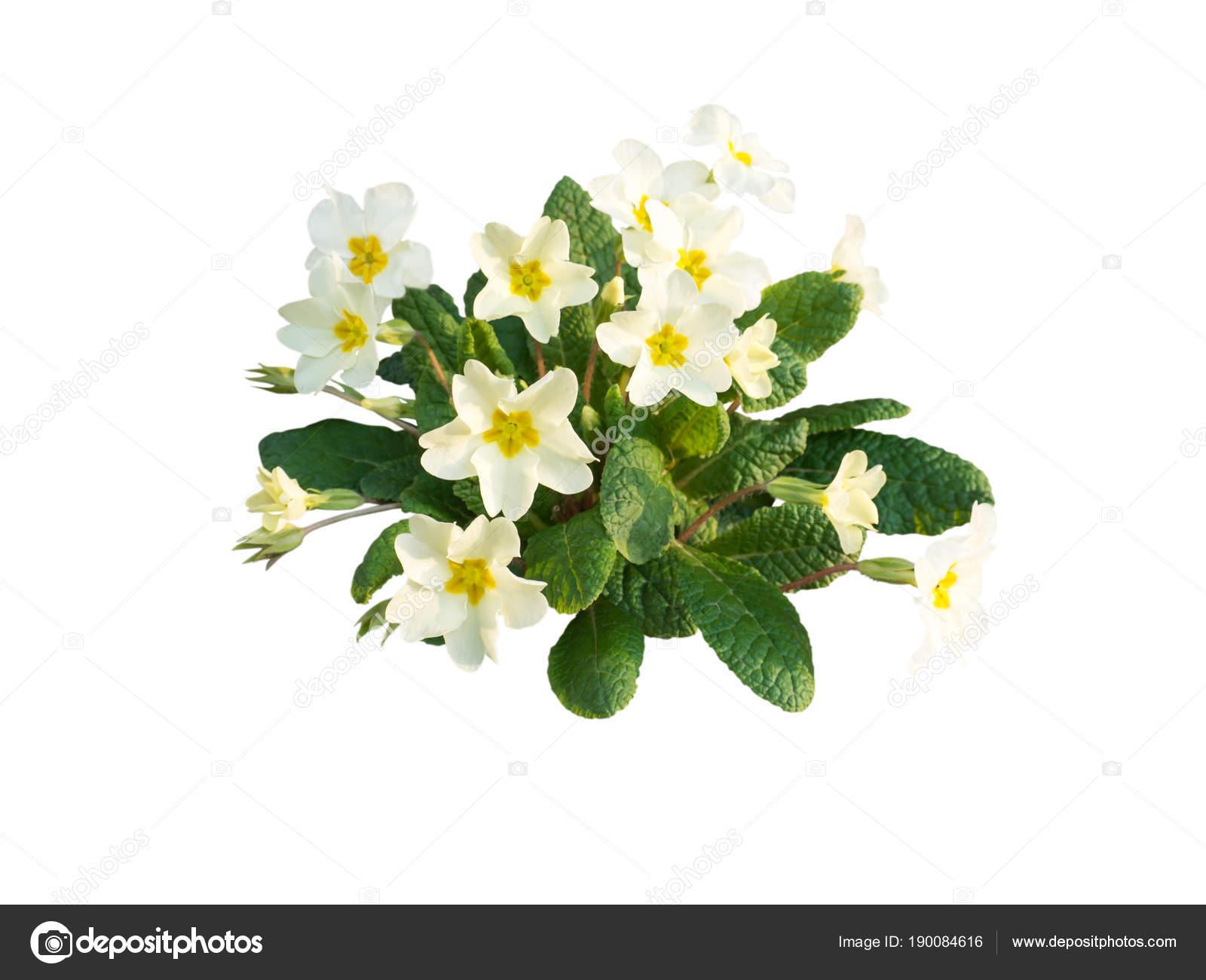 Primula vulgaris pale yellow flowers stock photo photohampster primula vulgaris pale yellow flowers stock photo mightylinksfo
