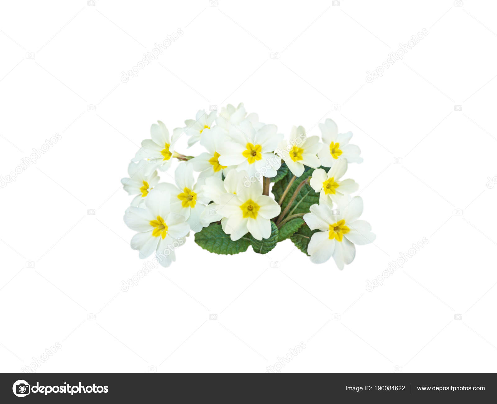 Primrose pale yellow flowers stock photo photohampster 190084622 primrose pale yellow flowers stock photo mightylinksfo