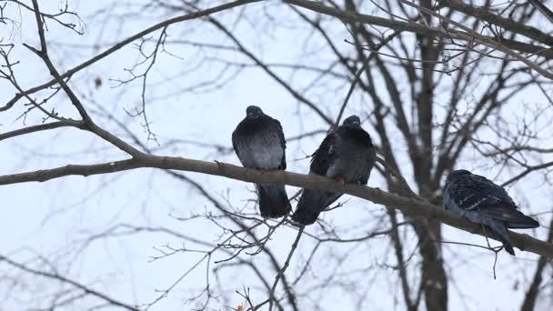 divocí holubi na větvích