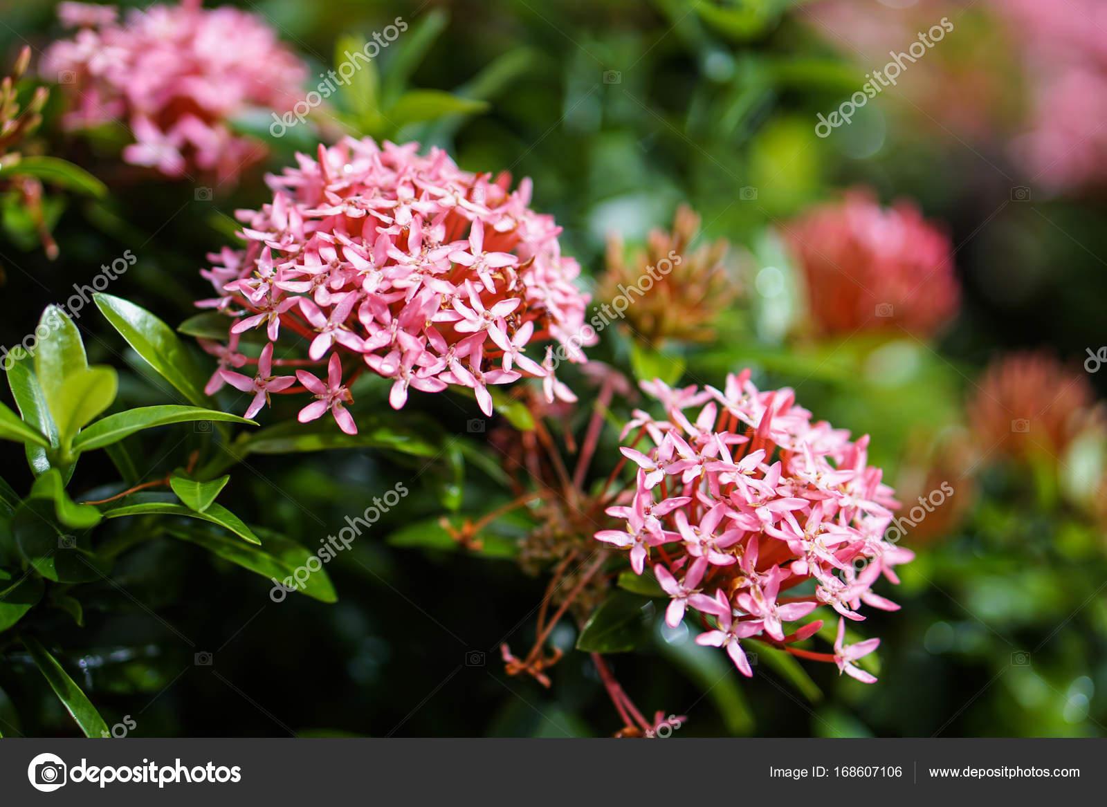 Red pink orange ixora spike flower green leaf rain drop stock red pink orange ixora spike flower green leaf rain drop stock photo mightylinksfo