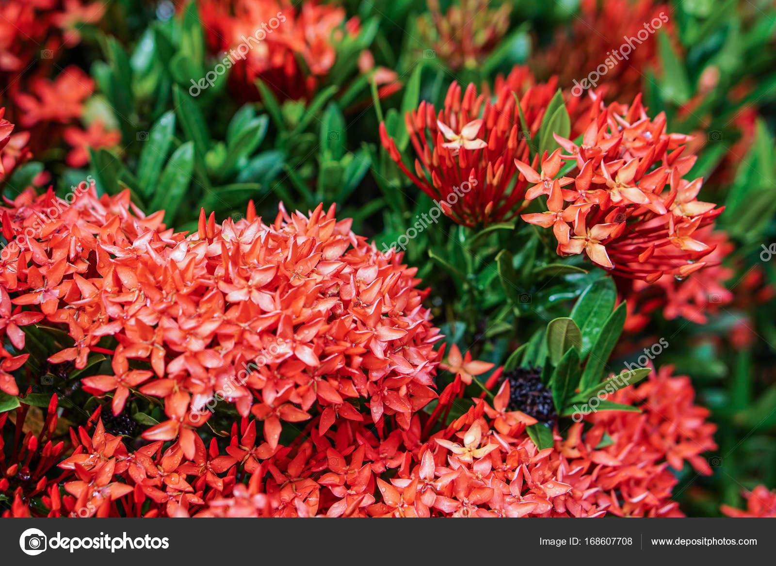 Red Pink Orange Ixora Spike Flower Green Leaf Rain Drop Stock