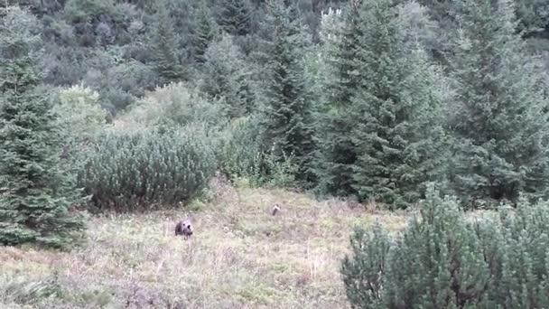 Hnědí medvědi v přirozeném prostředí. Tatra hory. Polsko