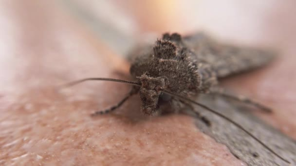 Makró közel 4k az arca pillangó Mamestra melltartó is nevezik lepke éjszakai állat és mohó lepidoptera általában káros a mezőgazdaságra