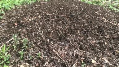 wild ants swarming