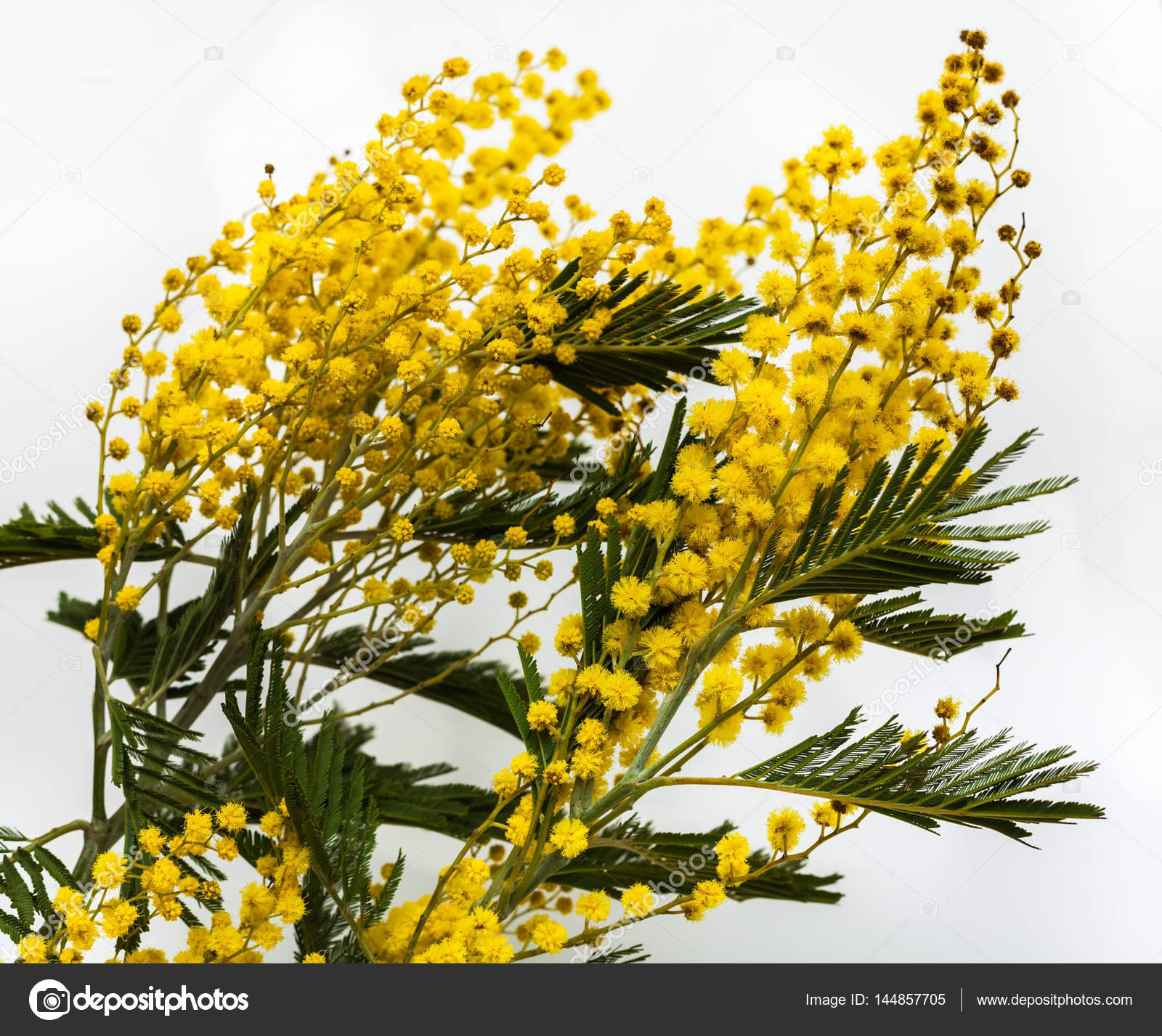 Fine yellow flowers mimosa acacia dealbata stock photo fine yellow flowers mimosa acacia dealbata beautiful spring flowers on a white background yellow inflorescences and green leaves close up mightylinksfo