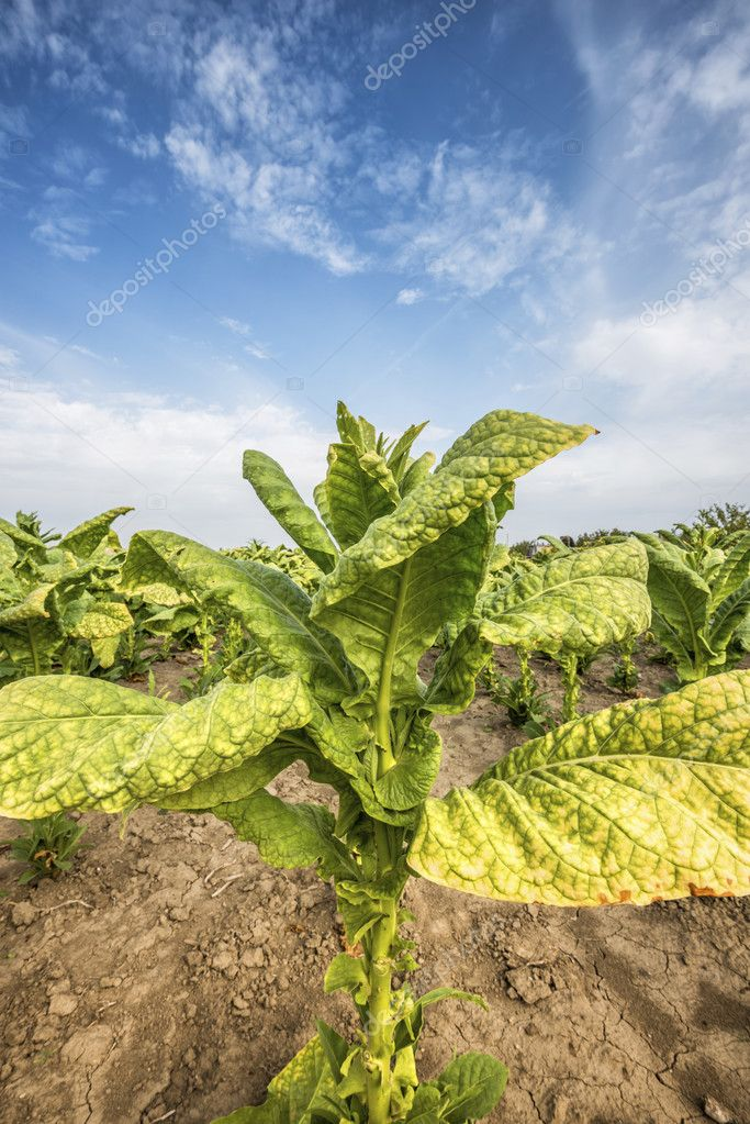 Growing tobacco on field