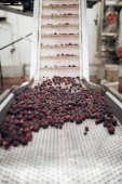 Food industry. Line for calibration of frozen blackberry fruits. Blurred group of unrecognizable workers in background