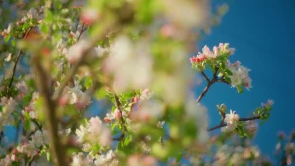 Krásné jarní květy jabloně, zblízka. Jaro kvetoucí jabloně na pozadí modré oblohy při západu slunce. Jarní větve sadu se houpají ve větru