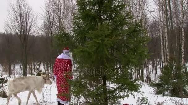Santa Claus és a rénszarvas gyaloglás fa erdei fenyő, a téli nap
