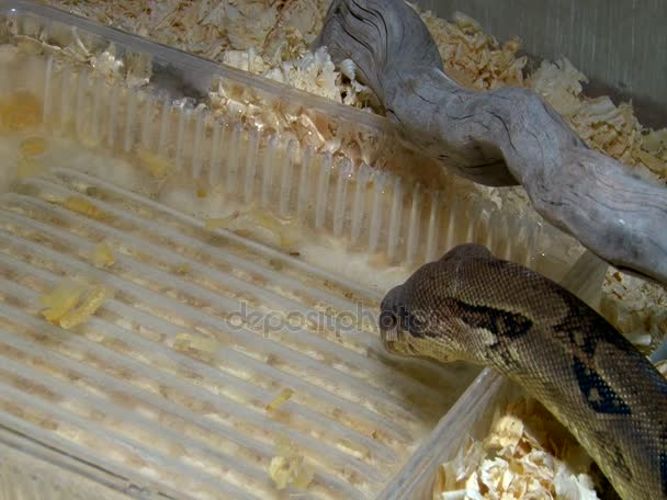 Constrictor snake drinking water in aquarium