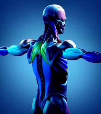 male torso back muscles